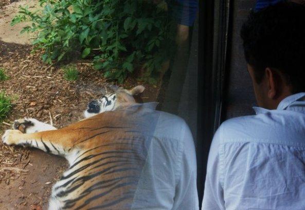 K-Tiger
